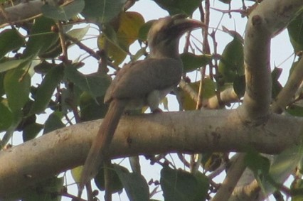 Indian Gray Hornbill Bharatpur Keoladeo National Park