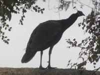 Indian Peafowl Bharatpur Keoladeo National Park