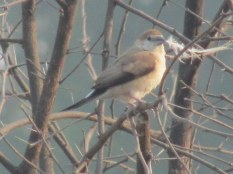 Indian Silverbill Bharatpur Keoladeo National Park
