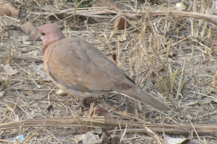 Laughing Dove Bharatpur Keoladeo National Park