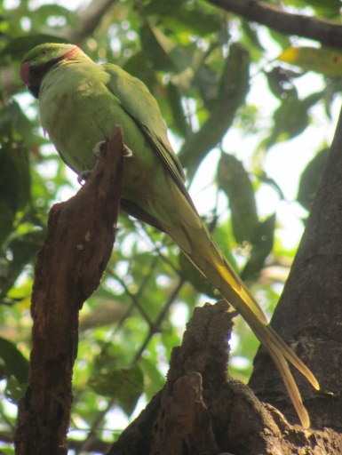 Rose-ringed Parakeet Bharatpur Keoladeo National Park