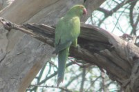 Rose-ringed Parakeet Bharatpur Keoladeo National Park