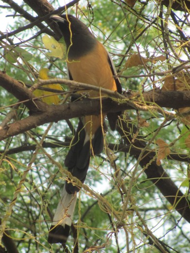 Rufous Treepie Bharatpur Keoladeo National Park