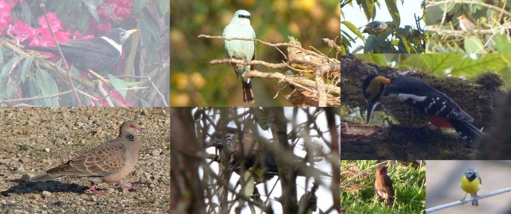 Rufous-gorgeted Flycatcher, Oriental Turtledove, Pink-browed Rosefinch, Verditer Flycatcher, Darjeeling Woodpecker, Yellowhammer, White-collared Blackbird, Olive-backed Pipit, Grey Wagtail, Spotted Nutcracker