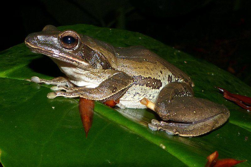 Four-lined Treefrog (Polypedates leucomystax)