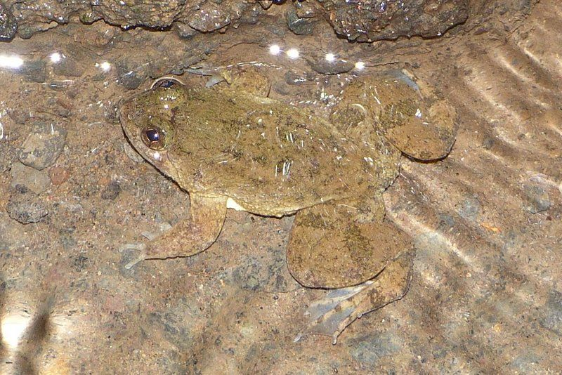 Common Puddle Frog (Occidozyga laevis)