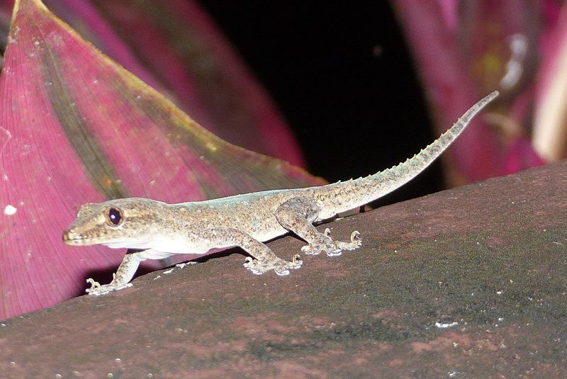 Spiny-tailed House Gecko (Hemidactylus frenatus)