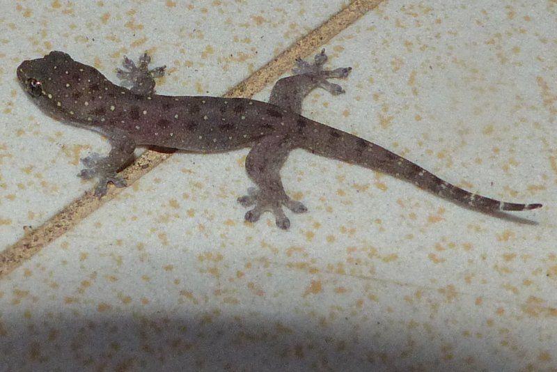 Stump-toed Gecko (Gehyra mutilata)