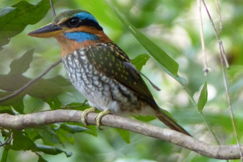 Spotted Wood Kingfisher is scientifically known as Actenoides lindsayi. male