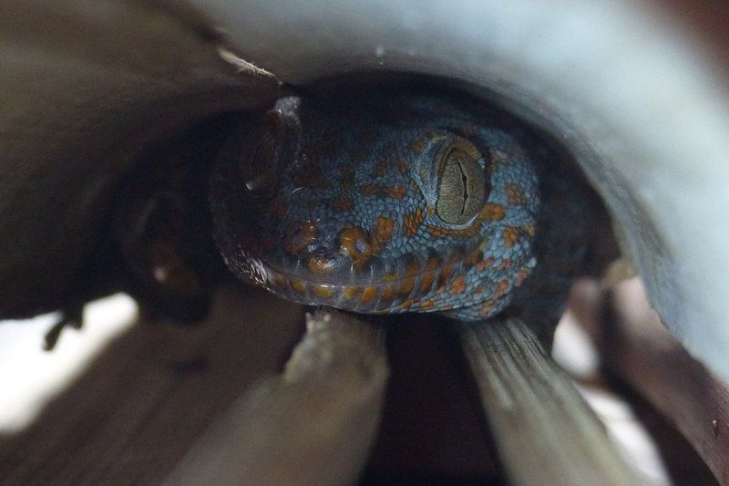 Tokay Gecko (Gecko gekko)