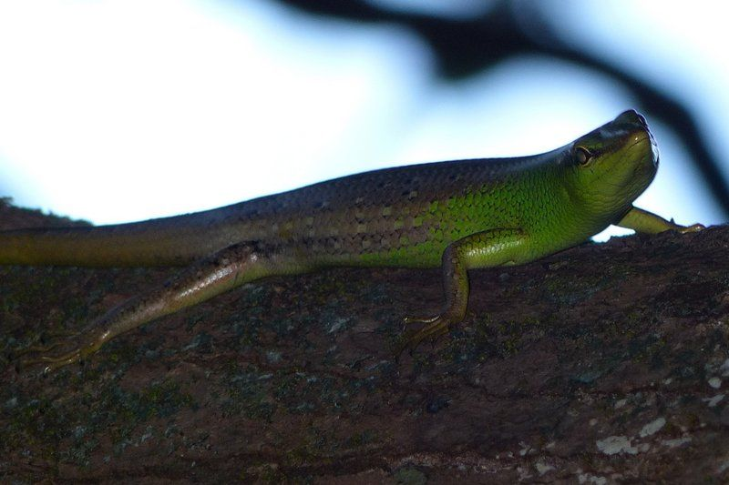 Emerald Tree Skink (Lamprolepis smaragdina philippinica)