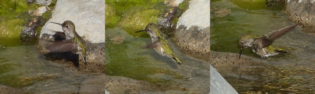 Anna's Hummingbird Calypte anna drinking from stream in the southern california mountains