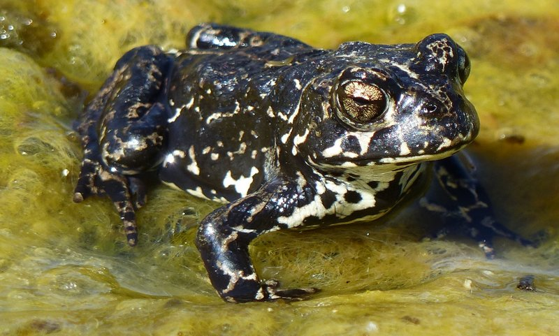 The Black Toad (Anaxyrus exsul) is known from a single spring complex surrounding an alkaline lake on the north end of the Inyo range.