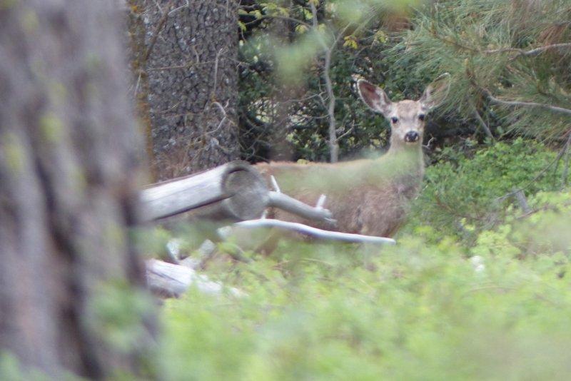 Mule Deer california