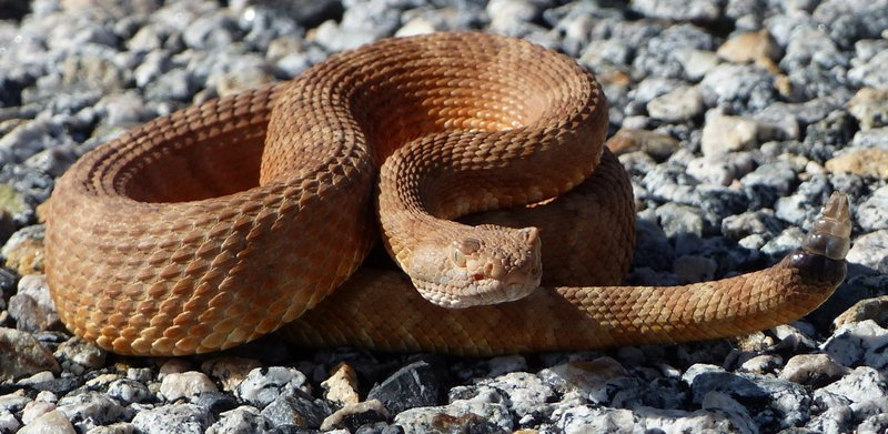 A young Panamint Rattlesnake Crotalus stephensi