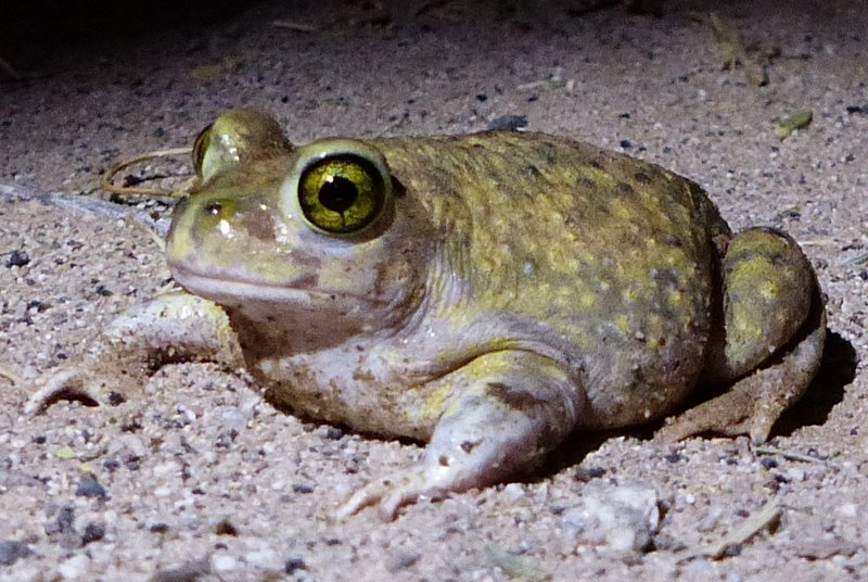 This Couch's Spadefoot (Scaphiopus couchii), found during a dry night on the edge of agricultural fields, was likely only active due to the moisture from sprinklers.