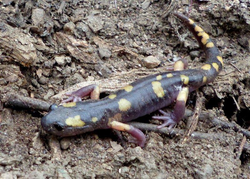 Yellow-blotched Ensatina (Ensatina eschscholtzii croceater)