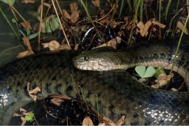 Enhydris subtaeniata, Mekong mud snake nakhon sawan Thailand