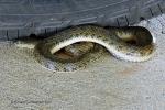 Enhydris subtaeniata Mekong Mud Snake striped water snake