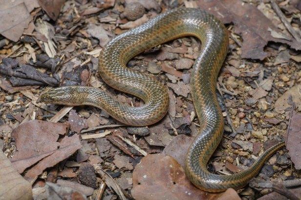 Enhydris subtaeniata, Mekong mud snake (subadult) Thai National Parks