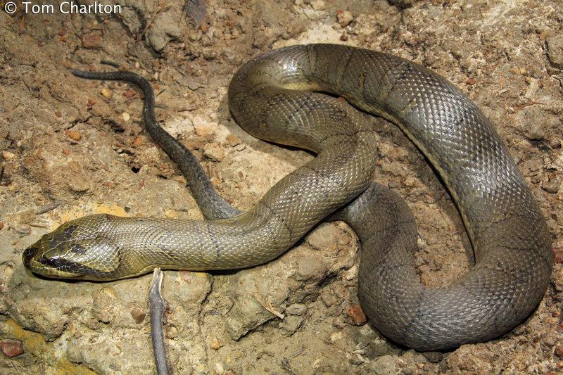 Puff-faced Water Snake Homalopsis buccata malaysia งูหัวกระโหลก, งูเหลือมออ