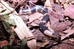 Banded Swamp Snake Homalopsis buccata in Indonesia