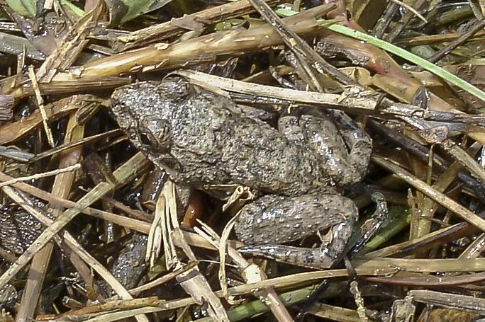 Crab-eating frog (Fejervarya crancrivora) Felix Fleck Krabi Province thailand