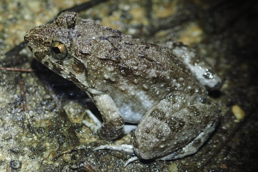 Crab-eating frog Fejervarya crancrivora Yingyod Lapwong Phang Nga Province Thailand