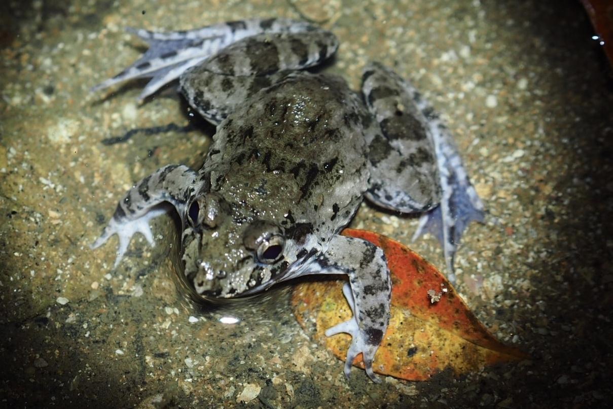 Crab-eating frog Fejervarya crancrivora Yingyod Lapwong Trang Province thailand