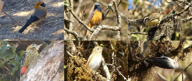 Red-headed Bullfinch,  Blue-fronted Redstart,  Red-tailed Minla, Whiskered Yunia, some little brown bird, Darjeeling Woodpecker