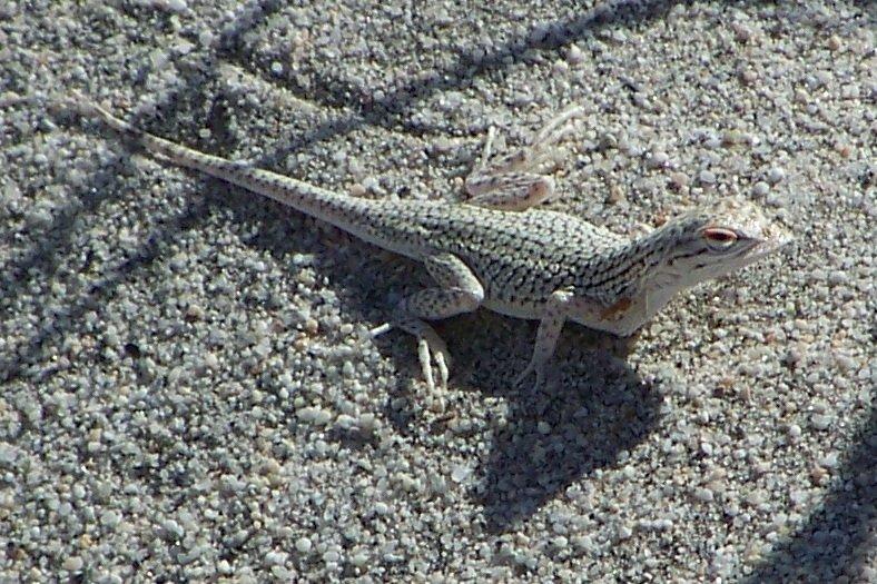Coachella Fringe-toed Lizard Uma inornata in a lot in Palm Desert threatened by development