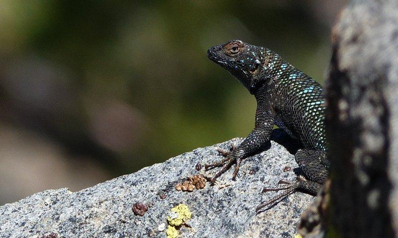 San Joaquin Fence Lizard (Sceloporus occidentalis biseriatus) on the Kern Plateau.