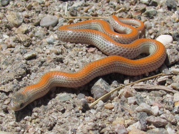 Variable Ground Snake (Sonora semiannulata) found a footstep away from the Colorado River's waters