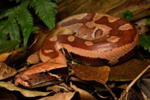 red brongersma's blood python Python brongersmai thailand short-tailed blood python tontan