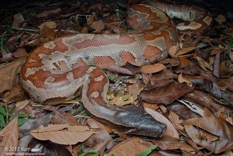red blood python Python brongersmai curtus malaysia งูหลามปากเปด Ngu Leuam Pakped