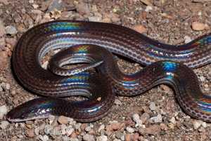 Sunbeam Snake Xenopeltis unicolor