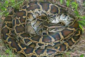 Burmese Python Python molarus