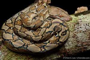 Reticulated Python Python reticulatus malayophython