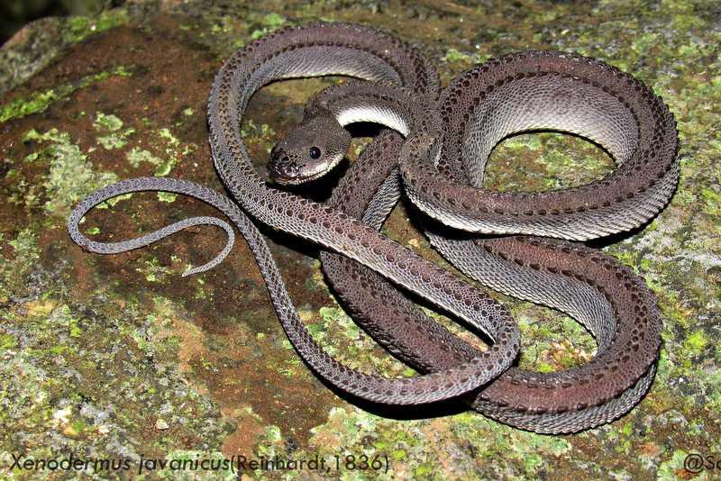 Dragon Snake Xenodermus javanicus Indonesia