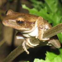 brown treefrog thumbnail