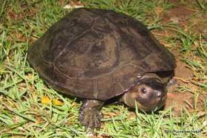 Black Marsh Turtle  Siebenrockiella crassicollis smiling bangkok thailand