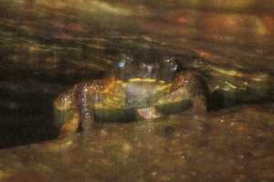 inthaton stream toad ansonia inthaton doi suthep find a new frog on the mountain
