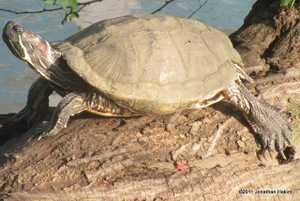 Red-eared Slider Trachemys scripta elegans introduced to bangkok thailand