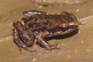 Inornate Froglet Micryletta inornata bangkok thailand