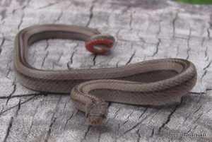 Striped Kukri Snake (Oligodon taeniatus) juvenile