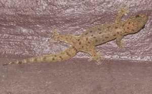 Stub-toed Gecko Gehyra mutilata bangkok thailand