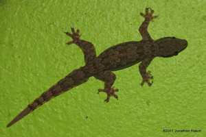 Flat-tail House Gecko Hemidactylus platyrus