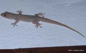 Spinytail House Gecko Hemidactylus frenatus bangkok thailand