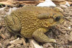 Common indian toad Duttaphrynus melanostictus bangkok thailand