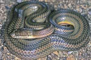 Rainbow Water Snake enhydri enhydris lake sonhkla